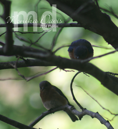 mom and dad bluebird in the tree checking out the new meal worm feeder